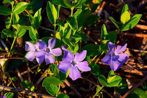 Flowers, Violets, Nature, Spring, Purple, Floral