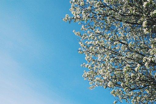 Tree, Flower, Sky, Spring, Nature, Floral, Branch