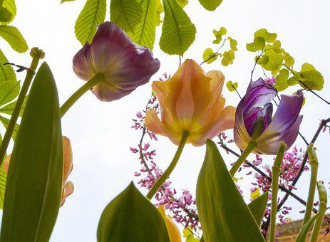 Tulips, Flowers, Spring, Petals, Colors, Plant, Garden