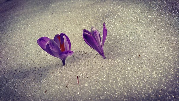 Flowers, Snow, Spring, Sarajevo, Tulip, Violet