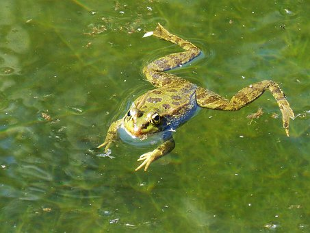 Frog, Raft, Water, Float, Batrachian, Amphibious