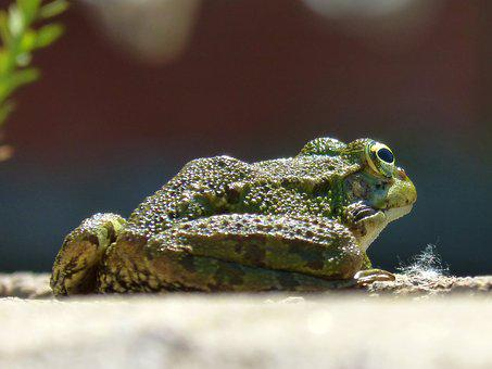 Frog, Batrachian, Raft, Lookout, Amphibious