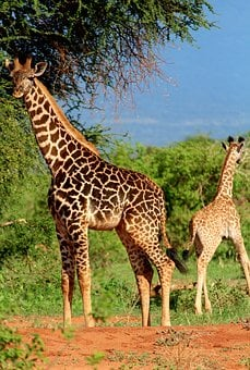 Giraffe, Africa, Safari