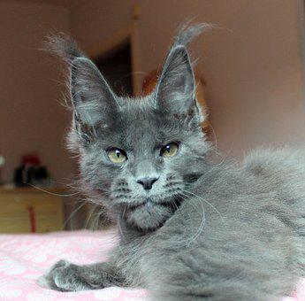 Cat, Mainecoon, Puppy, Animals, Kittens, Kitten, Pets