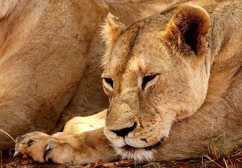 Lion, Tsavo, National Park, Animal, Africa, Safari