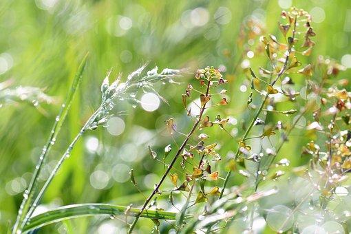 Meadow, Grass, Dewdrop, Raindrop, Flowers, Nature