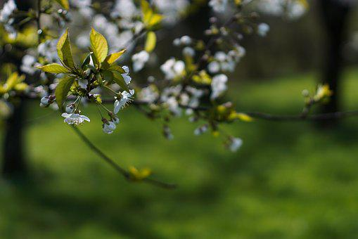 Spring, Tree, Flowering, White Flowers, Orchard