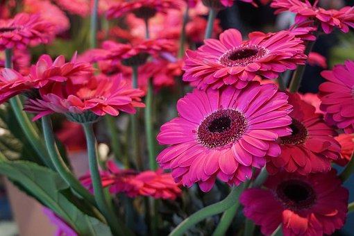 Flower, Gerberer, Schnittblume, Spring, Pink, Plant
