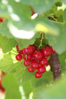 Currants, Shrub, Fruit, Leaves, Berries, Red, Jam