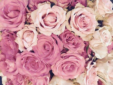 Roses, Blossom, Bloom, Pink, Flower, Rose Blooms