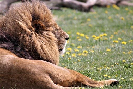 Lion, Big Cat, Wildlife, Animal, Wild, Predator, Safari