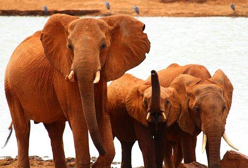 Elephant, Safari, Africa