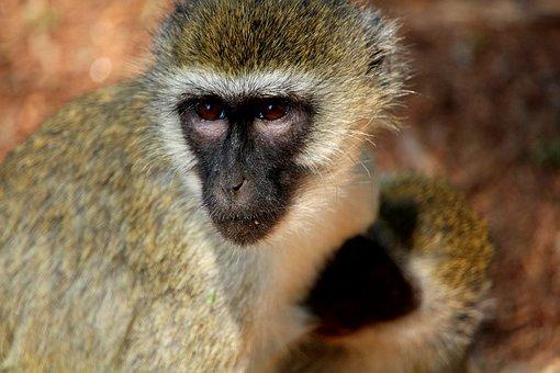 Monkey, Africa, Safari