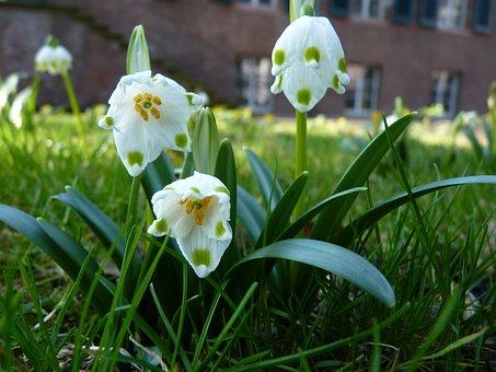 Snowflake, Spring, F, Maerzgloeckchen, Bloom, White