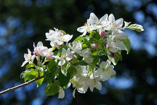 Apple Blossom, White, Apple Tree, Spring, White Flower