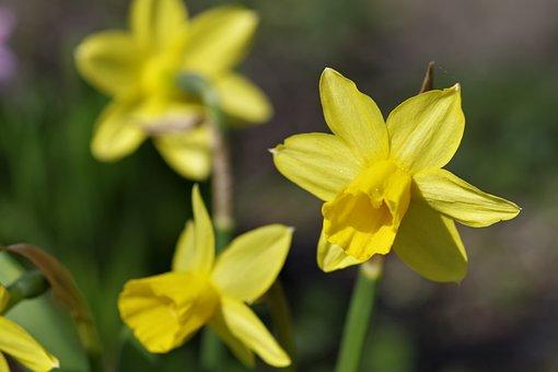 Daffodils, Flower, Spring, Garden, Sunny, Yellow, Plant