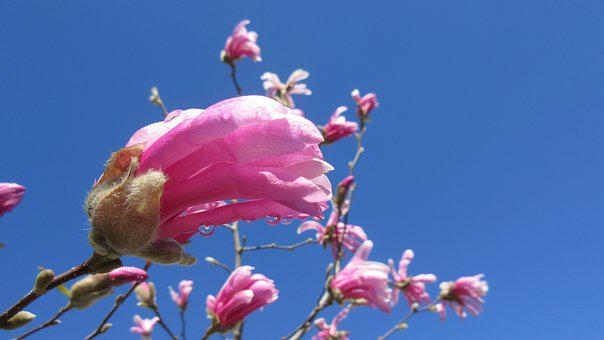 Magnolia, Spring, Flower, Tree, Nature, Pink, Blossom