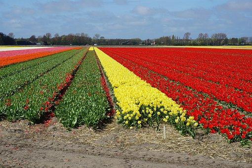 Flowers, Tulips, Tulip Field, Holland, Spring Flowers