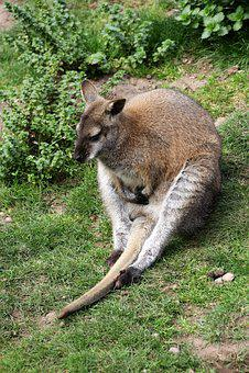 Wallaby, Kangaroo, Animal, Nature, Australia, Mammal