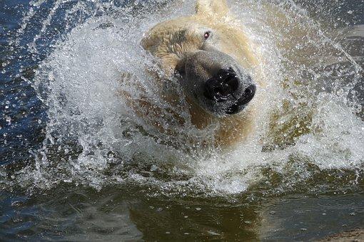 Polar Bear, Water, Nature, Animal, Zoo