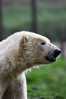 Polar Bear, White Bear, Bear, Polar, White, Wildlife