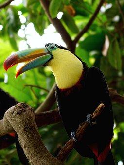 Toucan, Bird, Tropical Bird, Bill, Tropics, Colorful