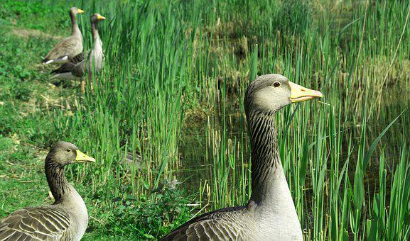 Goose, Greylag Goose, Animal, Bird, Poultry, Wild Goose