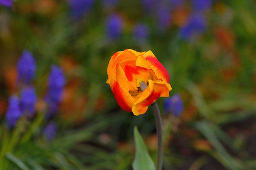 Tulip, Spring, Flower, Blossom, Bloom, Yellow, Red