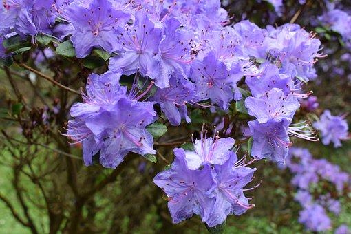 Blossom, Bloom, Flower, Purple, Bush, Nature, Plant
