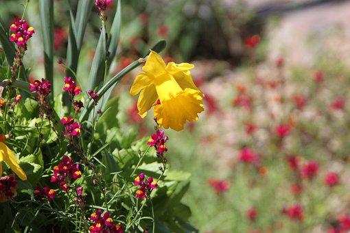 Daffodil, San Antonio Botanical Garden, Flower, Flora