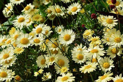 Daisies, Blossoms, Petals, Flower, Floral, Bloom