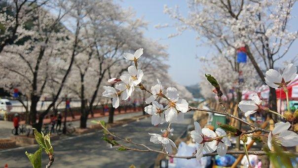 Cherry Blossom, Sunny Day, Festival