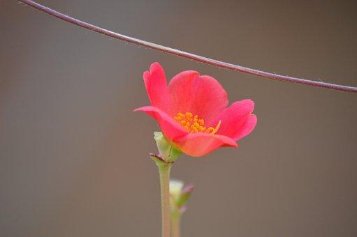 Succulent, Pink, Flower, Bloom