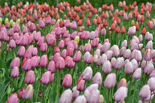 Tulips, Sea Of Flowers, Tulpenbluete, Flowers, Colorful