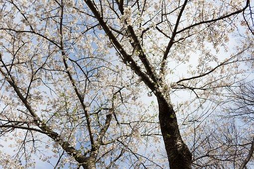 Flowers, Cherry, Japan, Spring, Sky