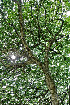 Foliage, Tree, Monkeypod, Hawaii, Natural, Sunlight