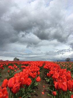 Tulip, Red, Storm Clouds, Flower, Garden, Spring