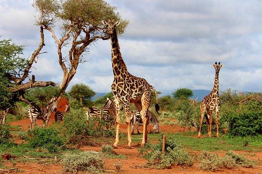 Giraffe, Africa, Zebra