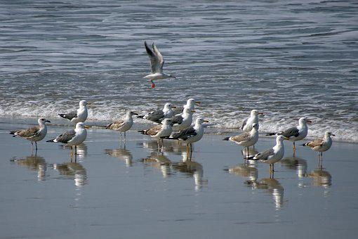 Bird, Gull, Flock, Sea Shore, Sea, Shoreline, Wildlife