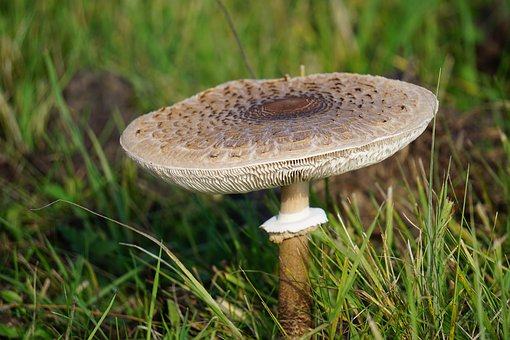 Mushroom, Meadow, Autumn, Nature, Plant