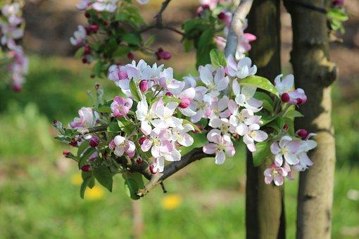 Apple, Blossom, Bloom, Spring, Nature