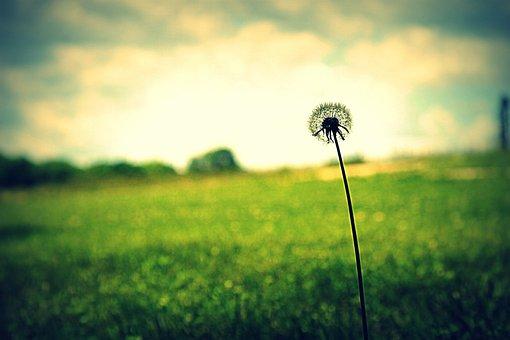 Dandelion, Flower, Grass, Spring, Nature, Summer