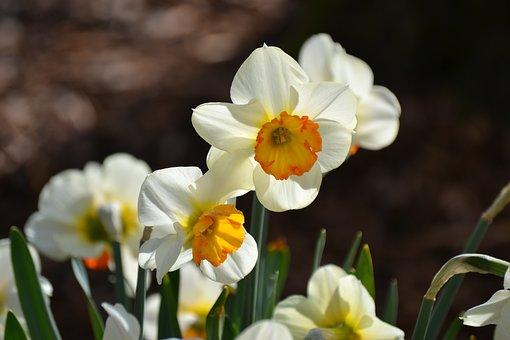 Daffodils, Osterglocken, Spring, Nature, Flora
