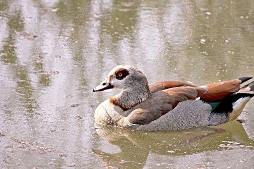 Nilgans, Goose, Water Bird, Bird, Plumage, Colorful