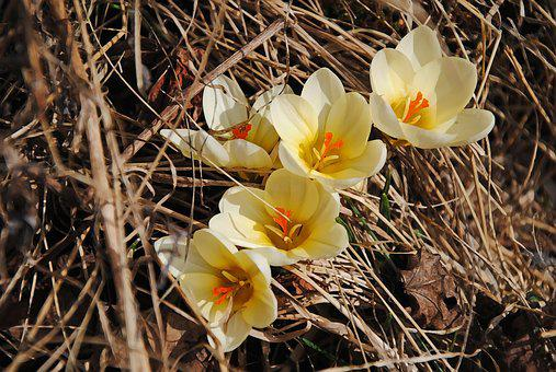 Crocus, Spring, Flowers, Our Characters, Spring Flowers