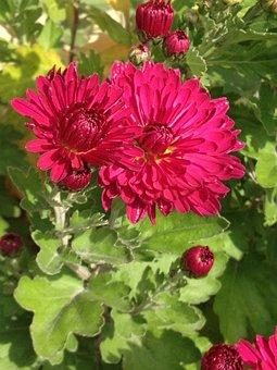 Gerbera, Flower, Blossom, Bloom, Pink, Red, Bloom