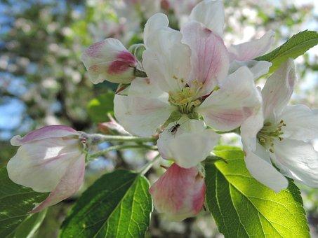Flower, Apple Tree, Apple, Spring, Sun, Sheet, Tree