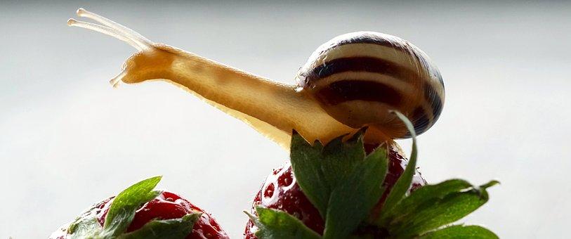 Snail, Strawberries, Shell, Probe, Mollusk, Slowly