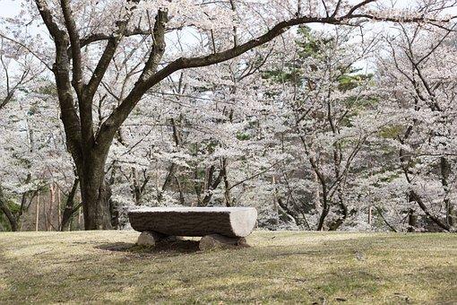 Flowers, Cherry, Japan, Spring, Wood, Chair