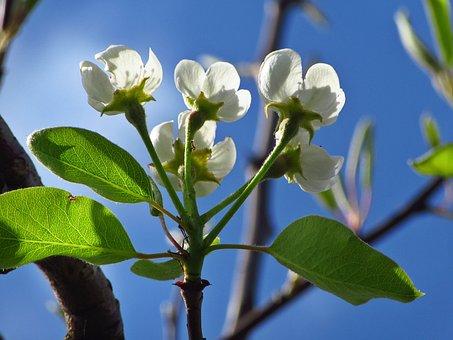 Blossom, White Flowers, White, Spring, Bloom